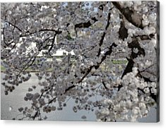 Cherry Blossoms With Jefferson Memorial - Washington Dc - 011338 Acrylic Print by DC Photographer
