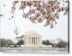 Cherry Blossoms With Jefferson Memorial - Washington Dc - 011350 Acrylic Print by DC Photographer