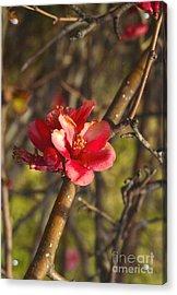Cherry Blossoom Tree Acrylic Print