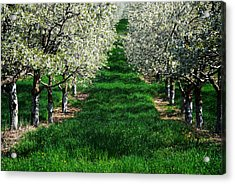 Cherry Orchard Morning Acrylic Print by Mary Lee Dereske