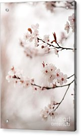 Cherry Plum Blossom Acrylic Print by Anne Gilbert