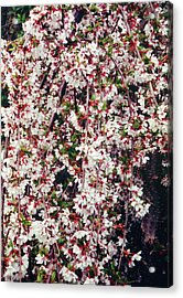 Cherry (prunus 'snow Showers') Acrylic Print by Mrs W D Monks/science Photo Library