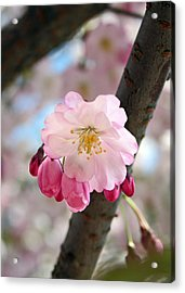Cherry Tree Blossom Series 801 Acrylic Print