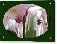 Cherry Tree Blossom Series 803 Acrylic Print