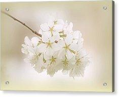 Cherry Tree Blossoms Acrylic Print by Sandy Keeton