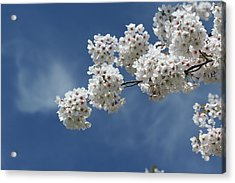 Cherry Tree Acrylic Print