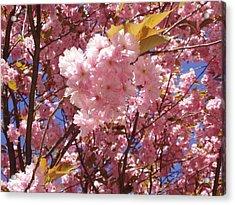 Cherry Trees Blossom Acrylic Print