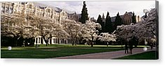 Cherry Trees In The Quad Acrylic Print by Panoramic Images
