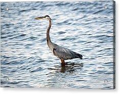 Chesapeake Bay Blue Heron Acrylic Print