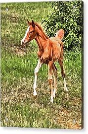Chestnut Foal Acrylic Print