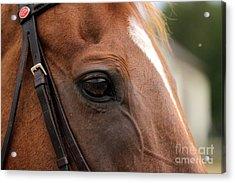 Chestnut Horse Eye Acrylic Print