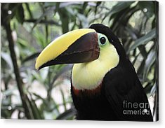 Acrylic Print featuring the photograph Chestnut-mandibled Toucan by Teresa Zieba