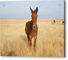 Chestnut Mule In Gold Acrylic Print