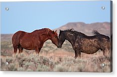 Chestnut Mustang Stallion And Black Mare Acrylic Print
