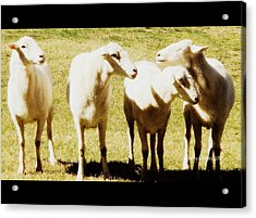 Acrylic Print featuring the photograph Cheviot Sheep by Kathy Barney