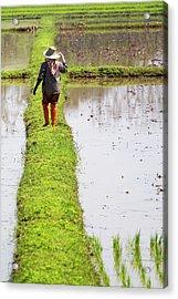 Chiangrai_farmer On A Rice Field Acrylic Print