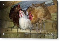 Chick Trio  Acrylic Print by Donna Brown