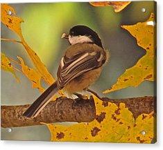 Chickadee 105 Acrylic Print by Patsy Pratt