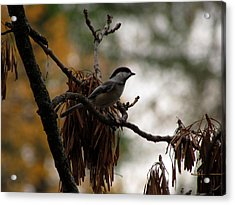 Chickadee In A Tree Acrylic Print
