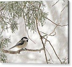 Chickadee In Snowstorm Acrylic Print