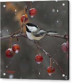 Chickadee In The Snow Acrylic Print