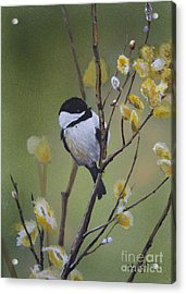 Chickadee  Acrylic Print by Margit Sampogna