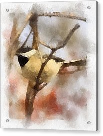 Chickadee Watercolor Acrylic Print by Kerri Farley
