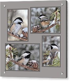 Chickadees In Winter Acrylic Print