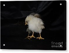 Chicken Dance Acrylic Print