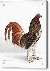 Chicken Hawk Acrylic Print by Katherine Plumer