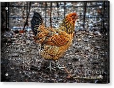 Chicken Acrylic Print by Mary Machare