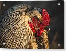 Chicken Acrylic Print
