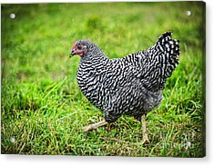 Chicken Walking On Green Pasture Acrylic Print by Elena Elisseeva