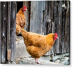 Acrylic Print featuring the photograph Chickens At The Barn by Edward Fielding