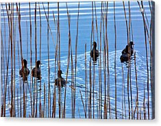 Chicks In Water With Reeds On The Outer Banks I Acrylic Print by Dan Carmichael