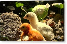 Cute Chicks Acrylic Print by Salman Ravish