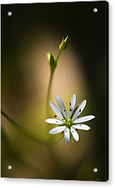 Chickweed Blossom And Bud Acrylic Print by Marty Saccone