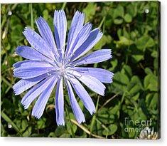 Chicory Acrylic Print by Laura Yamada