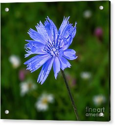 Chicory - Wildflower Acrylic Print