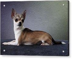 Chihuahua Acrylic Print by Gun Legler