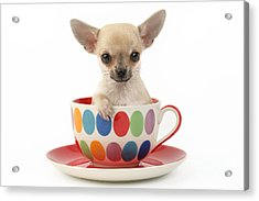 Chihuahua In Cup Dp684 Acrylic Print