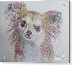 Chihuahua Acrylic Print by Lyric Lucas