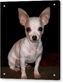 Acrylic Print featuring the photograph Chihuahua Puppy by Maria Urso
