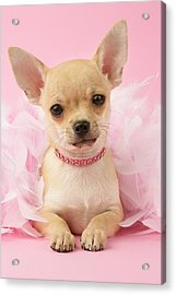 Chihuahua With Feather Boa Acrylic Print by Greg Cuddiford