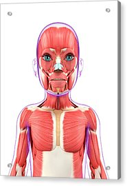 Child's Muscular System Acrylic Print by Pixologicstudio