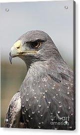 Chilean Eagle Acrylic Print