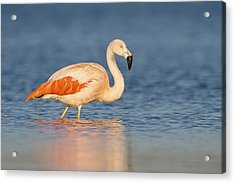 Chilean Flamingo Acrylic Print by Ronald Kamphius