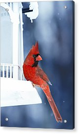 Chilly Cardinal Blues Acrylic Print by Bill Tiepelman