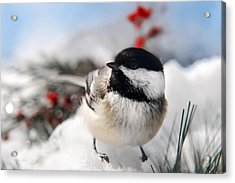 Chilly Chickadee Acrylic Print by Christina Rollo