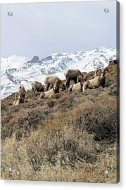 Chimney Rock Rams Acrylic Print